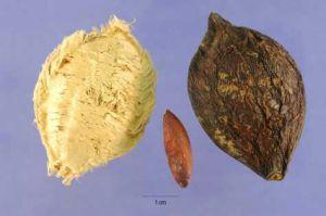 biji buah pohon ketapang 1 almond jawa